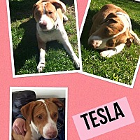 Adopt A Pet :: Tesla - waterbury, CT