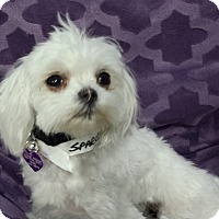 Adopt A Pet :: Sparkle - San Dimas, CA