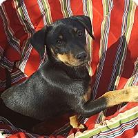 Adopt A Pet :: Elvis - Temecula, CA
