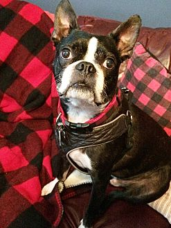 Boston Terrier Mix Dog for adoption in Courtland, Alabama - Moon Pie
