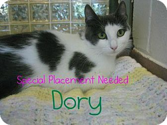 Domestic Shorthair Cat for adoption in Hamilton, Ontario - Dory