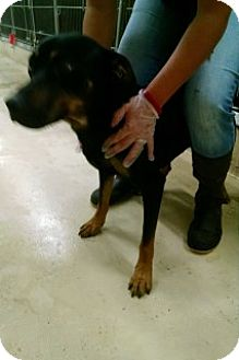 Rottweiler Mix Dog for adoption in Saginaw, Michigan - Booker