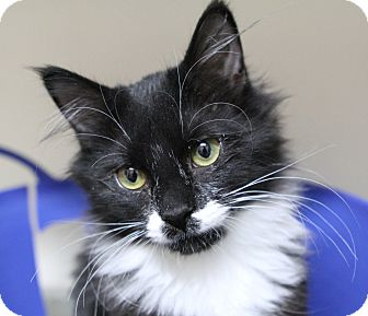 Domestic Mediumhair Kitten for adoption in Midvale, Utah - Posey