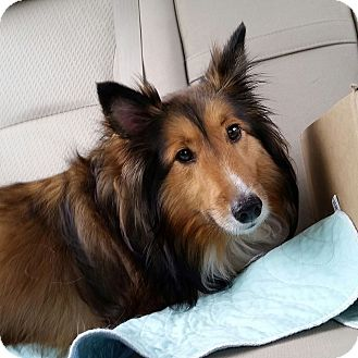 Sheltie, Shetland Sheepdog Dog for adoption in COLUMBUS, Ohio - Suzie