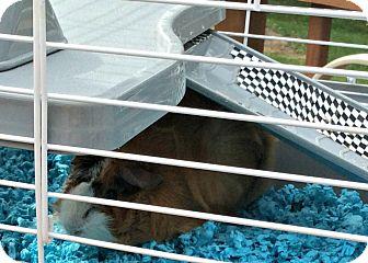 Guinea Pig for adoption in Platte City, Missouri - Chubbie