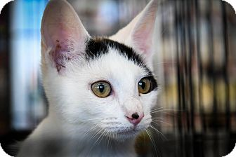 Domestic Shorthair Kitten for adoption in Wayne, New Jersey - Charly