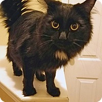 Bombay Cat for adoption in Denver, Colorado - Lunar