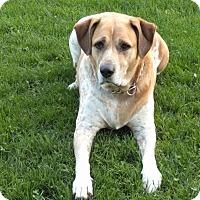 Labrador Retriever/English Pointer Mix Dog for adoption in Davisburg, Michigan - Abbie