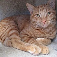 Domestic Shorthair Cat for adoption in Sherman Oaks, California - Aaron