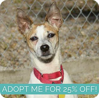 Jack Russell Terrier Mix Dog for adoption in Sarasota, Florida - Princess