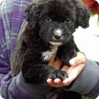 Adopt A Pet :: Oz (8 lb) - West Sand Lake, NY