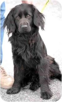 Desmin   Adopted Dog   Inman, SC   Cocker Spaniel/Flat ...  Desmin   Adopte...