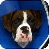 Adopt A Pet :: Chino - Sunderland, MA