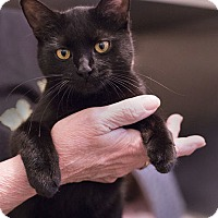 Adopt A Pet :: Licorice - Lombard, IL