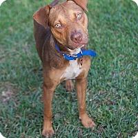 Adopt A Pet :: Sam - Ft. Myers, FL