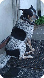 Blue Heeler Mix Dog for adoption in Palm Harbor, Florida - Pumpkin