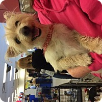 Wheaten Terrier/Terrier (Unknown Type, Medium) Mix Dog for adoption in Fresno, California - Alexander