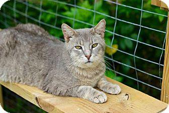 Domestic Shorthair Cat for adoption in San Antonio, Texas - Zeus