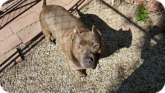 American Staffordshire Terrier Mix Dog for adoption in Racine, Wisconsin - Hippa