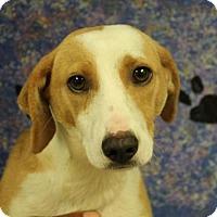 Adopt A Pet :: Gumbo - Bedford, TX