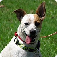 Australian Cattle Dog Mix Dog for adoption in Nanuet, New York - Lily