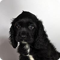 Adopt A Pet :: Mickey Cocker Spaniel - St. Louis, MO