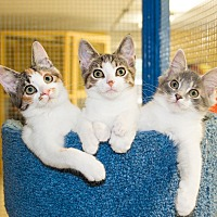 Adopt A Pet :: Kittens at Petco Strongsville - Seville, OH