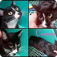 Domestic Shorthair Cat for adoption in California City, California - Cammy + 4