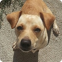 Dachshund/Chihuahua Mix Dog for adoption in Los Angeles, California - Harley Quinn