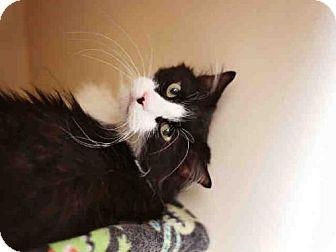 Domestic Mediumhair Cat for adoption in Murray, Utah - STYLEE