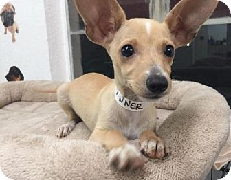 Chihuahua Puppy for adoption in Phoenix, Arizona - Tanner