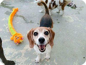 Beagle Dog for adoption in Las Vegas, Nevada - Cowboy