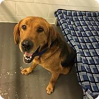 Adopt A Pet :: Goose - Stanton, MI