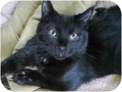 Domestic Shorthair Cat for adoption in Strathmore, Alberta - RoadRunner