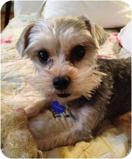 Yorkie, Yorkshire Terrier/Maltese Mix Dog for Sale in West Palm Beach, Florida - Ralphie