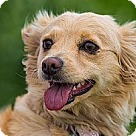 Adopt A Pet :: MINI Golden Retriever - Lacy