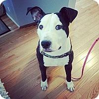 Adopt A Pet :: Ace - Woodbridge, CT