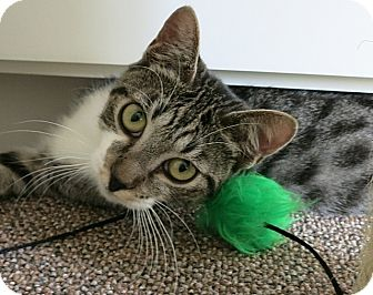 American Shorthair Cat for adoption in Tampa, Florida - Reilly
