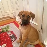 Adopt A Pet :: Daisy - Randolph, NJ
