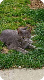 Domestic Shorthair Cat for adoption in barto, Pennsylvania - Petey