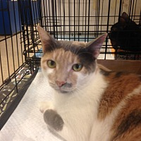 Calico Cat for adoption in Houston, Texas - Mimi