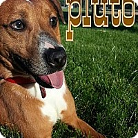Labrador Retriever Mix Puppy for adoption in Silver Lake, Wisconsin - Pluto Pup