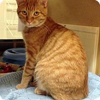 Adopt A Pet :: Tiger - Richmond Hill, ON
