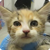 Adopt A Pet :: Calico cuddly - Lincolnton, NC