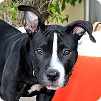 Adopt A Pet :: Lexus - Los Angeles, CA