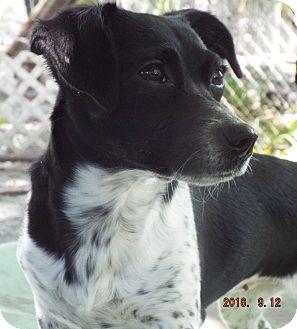 Dachshund Mix Dog for adoption in Overland Park, Kansas - Stormy