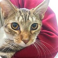 Domestic Shorthair Cat for adoption in Glendale, Arizona - Tiger