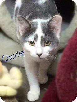 Domestic Shorthair Kitten for adoption in York, Pennsylvania - Charlie