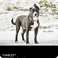 Adopt A Pet :: Harley - ADOPTED! - Zanesville, OH