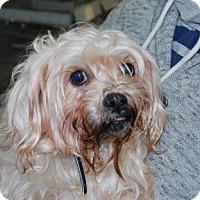 Adopt A Pet :: Gerard - Brooklyn, NY